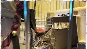 A kitten from the Multnomah County Animal Services' adoption center