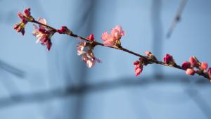 Cherry blossoms about to bloom