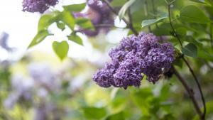 lilacs in Spring 2020