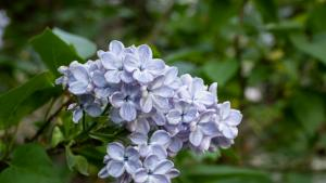 Blooming lilacs image used for FY 2022 adopted budget