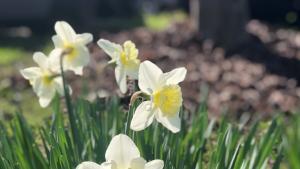 Daffodils on a sunny February day in SE Portland.