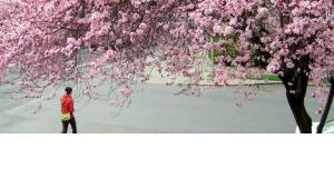 Picture of cherry blossom tree in full bloom with person walking underneath