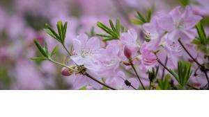 cherry blossom full bloom thumbnail