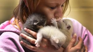 An Animal Services staffer snuggles three tiny kittens.