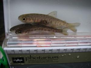 Three rainbow coho in a water-filled container with a ruler.