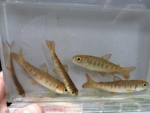 Five baby coho in a water-filled container.