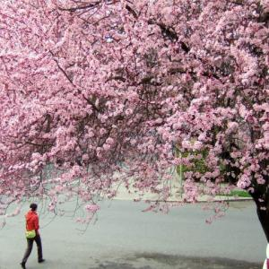 photo of a cherry blossom tree in full bloom with person walking beneath it.
