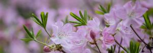 Header image_Close up of pink flowers