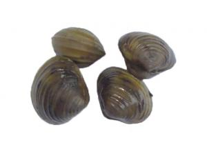 river clams