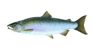 illustration of a Coho salmon