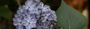 lilac header image