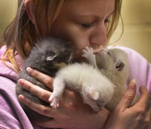 A woman in a pink hoodie snuggles three tiny kittens to her face.