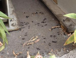rat droppings