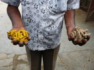 turmeric root with and without added lead